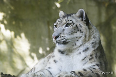 Léopard des neiges (Peter H. Photographie) Tags: france nature animal zoo sony bretagne snowleopard photoanimalière pontscorff léoparddesneiges a580 tamronaf70300mmf456divcusdif