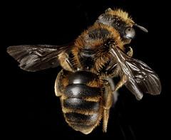 Osmia rufohirta, F, Back, Greece, Aegean Islands, Lesvos, Mytilene_2015-02-16-15.52.37 ZS PMax (Sam Droege) Tags: europe bees bee greece usgs reddish rufous megachilidae osmia nativebee droege patuxentwildliferesearchcenter osmiarufohirta taxonomy:binomial=osmiarufohirta biml usgsbiml