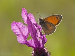 A contraluz (Maite Mojica) Tags: primavera contraluz atardecer flor mariposa insecto pamphilus lavandula nymphalidae lepidóptero coenonympha espliego stoechas artrópodo cantueso ninfálido