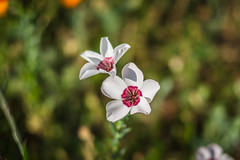 Série Fleur 2015 - 9 (Macsous) Tags: alpes lyon fleur fleurs flower flowers gazon herbe herbes japonais jardin jaune mauvaise rhone solaize tige verdoyant vert