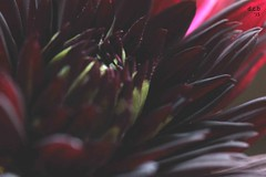 IMG_1501 (David Charles Buchanan) Tags: dahlia blackflower blackdahlia dahlianuitdete davidcharlesbuchanan dcb15