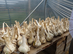 Elephant garlic, Lower Lovetts Farm (2) (karenblakeman) Tags: uk food vegetables reading july garlic berkshire knowlhill 2015 elephantgarlic organickitchengarden readingfoodgrowingnetwork rfgn lowerlovettsfarm
