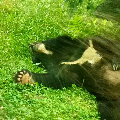Completely relaxed Asiatic Black Bear. #Baloo