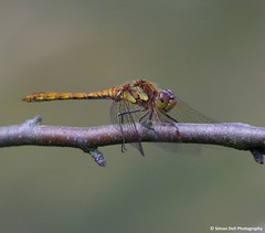 dragon fly (9) (Simon Dell Photography) Tags: blue red green nature field animals out walking fly dragon place dragonfly walk wildlife sheffield reserve visit days awsome valley brook local shire common damselfly darter 2015 hackenthorpe