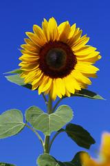 Sunflowers 1 (joseph_donnelly) Tags: sun flower green yellow sunflower sonnenblumen