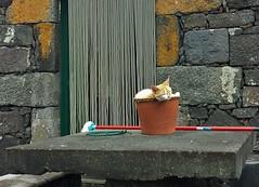 How cats at the Azores behave (Elisa1880) Tags: flower portugal cat island kat pot pico basalt azores eiland bloempot azoren