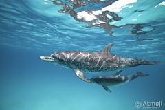 WildQuest Dolphin Retreat - 12/2015 (Wildquest Bimini) Tags: swimming swim atlantic snorkeling dolphins bimini bottlenose dolphinquest dolphinswim wildquest dolphinunderwater swimwithdolphin atmoji
