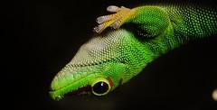 Madagascar Day Gecko (Phelsuma madagascariensis) _DSC0200 (ikerekes81) Tags: macro washingtondc dc nikon photos reptile fuchsia national nationalzoo gecko phelsumamadagascariensis nikond3200 dczoo omnivore smithsoniannationalzoologicalpark d3200 washingtondczoo madagascardaygecko macromonday fuchsiaphotos