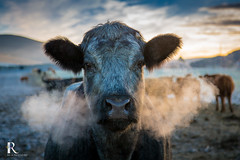 Cold outside (MikeP100) Tags: hoiday perthshire scotland tawnycottage cow portrait cattle frost vapour breath livestock