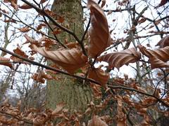 in your face (mark.griffin52) Tags: england hertfordshire ashridgeestate winter deadleaves leaves beech tree