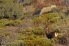 Cerf dix cors dans les genêts (Patrice Baud) Tags: hirsch cerf élaphe cervus cerdagne montagne pyrénées nikon wild wildlife mammifère herbivore cérvol deer ciervo cervo reddeer nikond7100 300f4