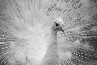 white peacock/paon blanc _1094