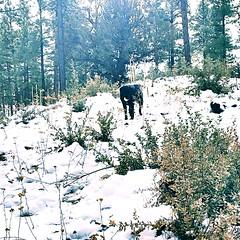 Addie in the Snow-Prescott, AZ-Dec 2016 (Service.dog.addie) Tags: prescottaz arizona prescott trees winterlandscape landscape winter cold snow mutt mixedbreed labmix blacklab labradorretriever retriever labrador blackdog servicedog dog