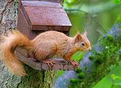 Red Squirrel (With Wet Feet !) (eric robb niven) Tags: ericrobbniven scotland redsquirrel wildlife nature scottishwildlifetrust dundee dunkeld