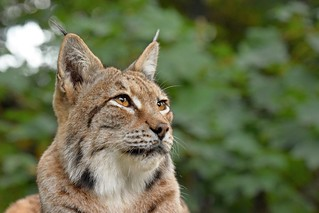 euroazijski ris (Lynx lynx / Eurasian Lynx / Eurasischer Luchs)