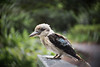 Kookaburra (Petra Ries Images) Tags: cosmicar50mmf14 vintagelens adapedlens cosmicar kookaburra lachenderhans australia austria swirl swirlybackground blur bokeh vogel bird tame