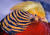 Golden Pheasant (BernieErnieJr) Tags: alamedaparkzoo alamagordo newmexico goldenpheasant bird wildlife greatphotographers teamsony sony70400mmg2 sonya77mkii exotic