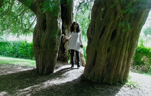Split Ancient Yew Tree, Alton. Wiltshire. UK