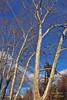 "MAGIC HOUR Sycamore Tree Landscape in Late Autumn/Fall at Duke Farms of Hillsborough NJ (takegoro) Tags: ""duke farms"" ""nature preserve"" nature hillsborough ""new jersey"" fall autumn landscape trees sycamore white"