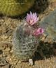 Escobaria tuberculosa (l.e.violett) Tags: cactus flower cultivated escobaria tuberculosa arizona pse