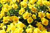 Soria_0961 (Joanbrebo) Tags: spain soria canoneos70d efs18135mmf3556is eosd autofocus españa castillayleón plazadelolivo blumen blossom flors flores flowers fiori fleur canonflickraward