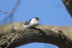 White-breasted Nuthatch (kidbirder) Tags: