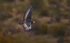 king vulture (Zahoor-Salmi) Tags: zahoorsalmi salmi wildlife pakistan wwf nature natural canon birds watch animals bbc flickr google discovery chanals tv lens camera 7d mark 2 beutty photo macro action walpapers bhalwal punjab