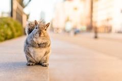 Good morning!  Do you have any snacks in that backpack for me? (Lee Chu) Tags: project365 sel35f18 sonynex6 chicago illinois unitedstates millenniumpark squirrel sunrise goldenhour cute animal nature loop downtown orange street portrait