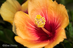 Brilliant Hibiscus (Mimi Ditchie) Tags: flower flowers hibiscus getty gettyimages mimiditchie mimiditchiephotography passionhibiscus brilliant piston flowerpart stamen