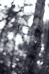 Weaving webs (Jessica Sparrow) Tags: bw black white nature spider orb weaver golden web webs forest wilderness orbweaver