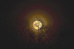 Moon with rings - lunar corona (deanrr) Tags: nature outdoor night morgancountyalabama alabama alabamamoon rings 2017 februarymoon silhouettes tree lunarcorona lunar