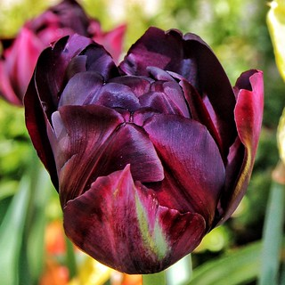 Sonnenberg Gardens & Mansion Historic Park ~ Canandaigua NY  ~  Fading Tulip for the Season