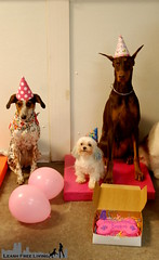 Bourbon's 4th Birthday (samd517) Tags: bourbon birthday cake four fourth 4th petisserie bakery party movie night hat happy doberman pinscher maltese german shepherd labrador sheltie shetland sheepdog cattle dog mix guiseppe gibbs orbit rugby abigail camden
