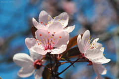Florida primavera / Flowering spring (Javiera C) Tags: santiago chile planta plant flor flower flora árbol tree pink rosado pétalo petal estambres nature naturaleza primavera spring florecer flowering