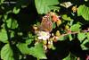 Butterfly & Blackberries (PurpleTita) Tags: italy sun verde green nature canon butterfly torino italia estate blackberry natura more piemonte sole fiore turin montagna piedmont insetto vallidilanzo farfallaestate eos1100d