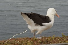 DSC_9638Wenkbrauwalbatros : Albatros a sourcils noirs : Diomedea melanophris : Schwarzbrauen-Albatros : Black-browed Albatross