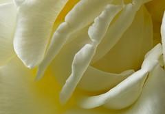 _P5A3289edit Blousy Rose (Currant Bun) Tags: