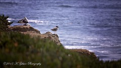 IK2A4989 copysmall (azphotomom37) Tags: ocean california sea cliff seagulls beach water birds canon coast lajolla 100400mm kgibsonphotography