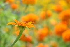 Orange (KaDeWeGirl) Tags: newyorkcity flowers orange garden botanical bronx exhibit fridakahlo casaazul nybg
