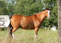 Mycket vacker hst 2015-07-07 (Torgil Jarnling) Tags: hst vacker mycket beautifulhorse 20150707