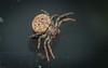 Cymbacha ocellata (dustaway) Tags: arthropoda arachnida araneae araneomorphae thomisidae cymbachaocellata commoncymbacha crabspider australianspiders tullerapark tullera northernrivers nsw nature australia