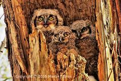 IMG_7954...resize24x16dpi325_500x333©70pc (martin.tobias_photos) Tags: owls twinlakes greathornedowls owlchicks owlets owlsnest nestingowls gunbarrel bouldercounty colorado frontrange babyowls adorable