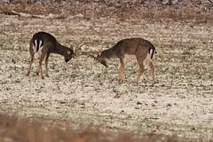Deer-Fallow Bucks_4287 (Porch Dog) Tags: 2017 garywhittington kentucky nikond750 fx nikon200500mm deer fallowdeer buck stag wildlife nature rack spar winter january