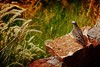 IMG_6214 Atalaya (Rodolfo Frino) Tags: bird fauna natural natur nature naturaleza dove pigeon paloma ave pajaro bush plant plants plantas sunny