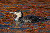 Red-throated Diver (Chris B@rlow) Tags: gaviastellata diver divers loons waterbirds seabirds scarborough yorkshire peasholmlake bird birds canon7d nature water reflections sigma150600sport wildlife outdoors canon ukbirds britishbirds