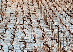 The ballet of the vines (oobwoodman) Tags: suisse switzerland schweiz vaud grandvaux winter hiver vineyards vignoble vignes rebe vines ballet formation dance twisted snow schnee neige corpsdeballet