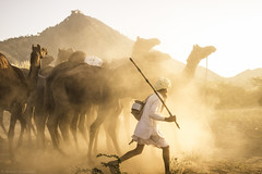 All in a day's work (anandgovindan) Tags: img5599 anandgovindan anandgoviphotography camels animals desert herder camelfair pushkar rajasthan india dust dusty travel landscape cwc cwc561 chennaiweekendclickers goldenhour golddust
