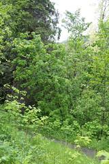 Acer glabrum-02 (The Tree Library (TreeLib.ca)) Tags: douglasmaple acerglabrum