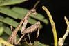 Mantid (jgruber111) Tags: mantidae mantodea mantid insect macro entomology