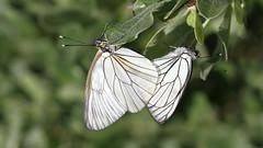 Black-veined White. Aporia crataegi (jaytee27) Tags: blackveinedwhite aporiacrataegi pieridae naturethroughthelens